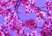 Wallpaper violet tree